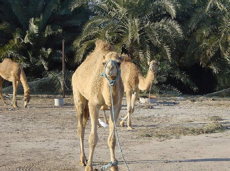 Pictures of the Camel Farm near Manama , Manama Bahrain