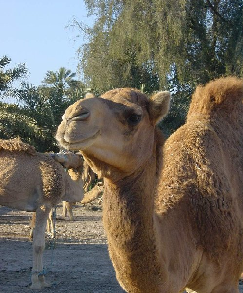 Photo of a camel near Manama, Bahrain