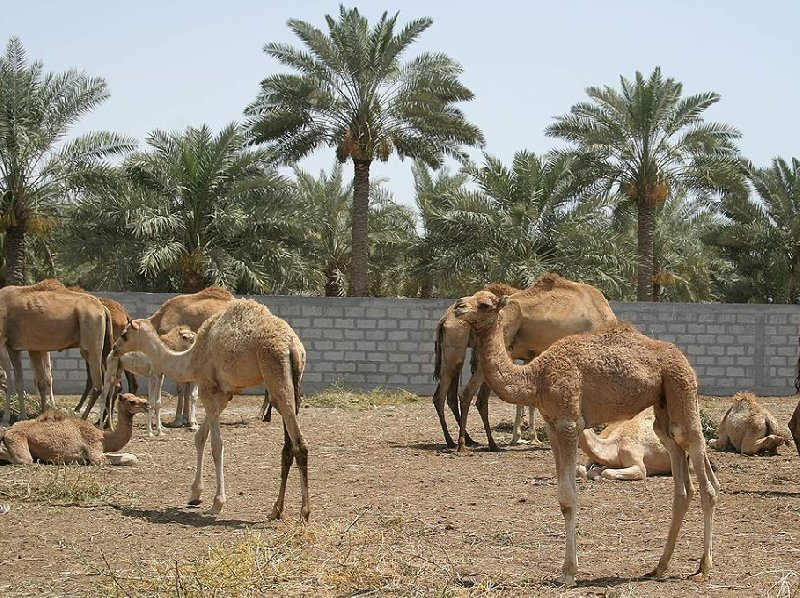 Camels of Bahrein at the farm near Manama, Bahrain