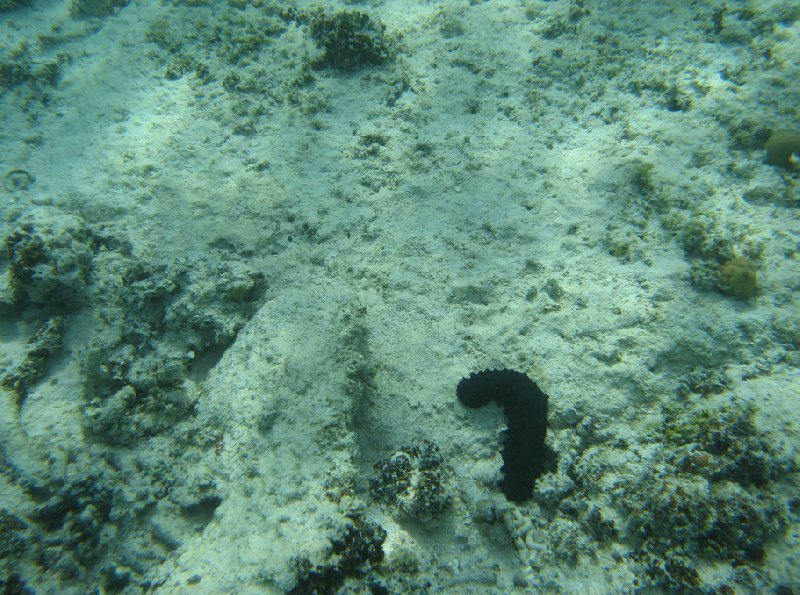 Picture of a sea cucumber in Tonga, Tonga