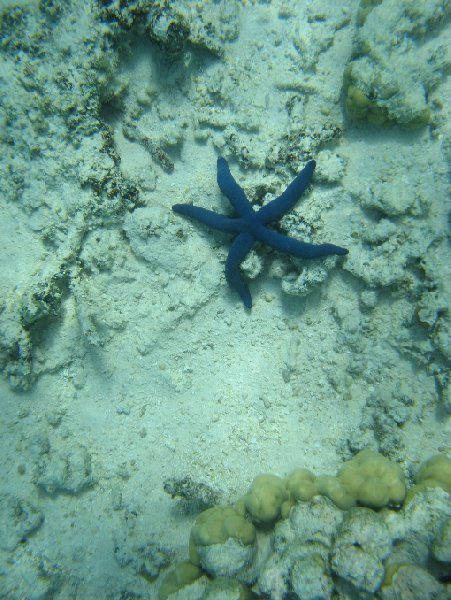 Foto of a purple sea star in Tonga, Tonga