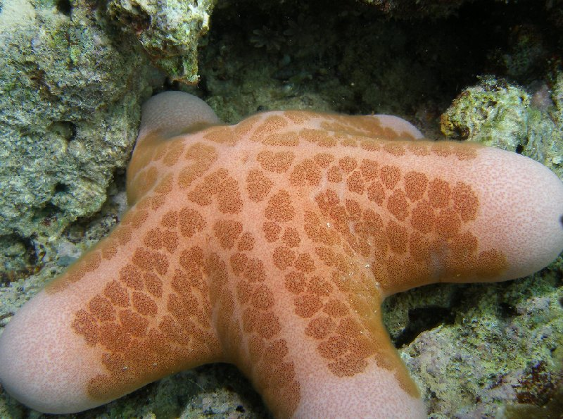 Picture of a Sea Star, Solomon Islands, Solomon Islands