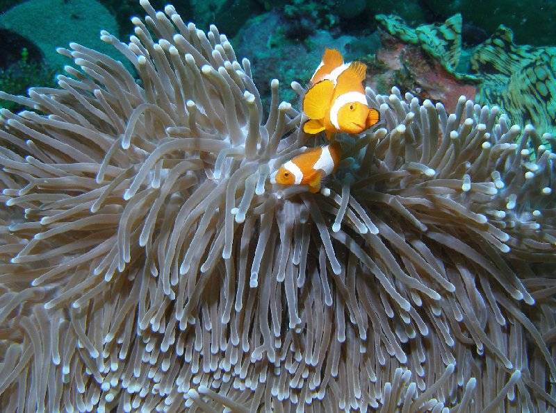 Clownfish at the Solomon Islands, Honiara Solomon Islands