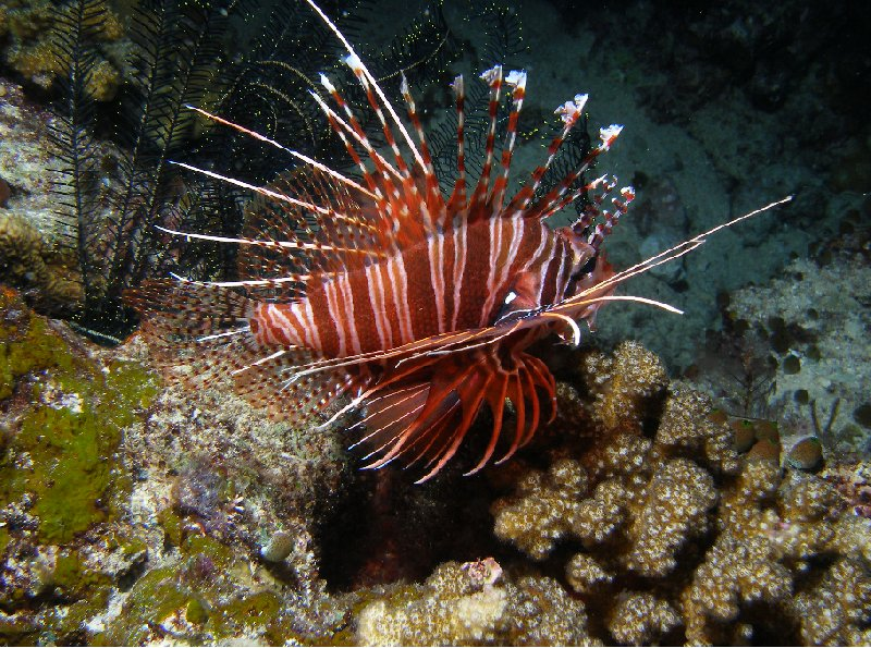 Photo of a lionfish at the Solomon Islands, Solomon Islands