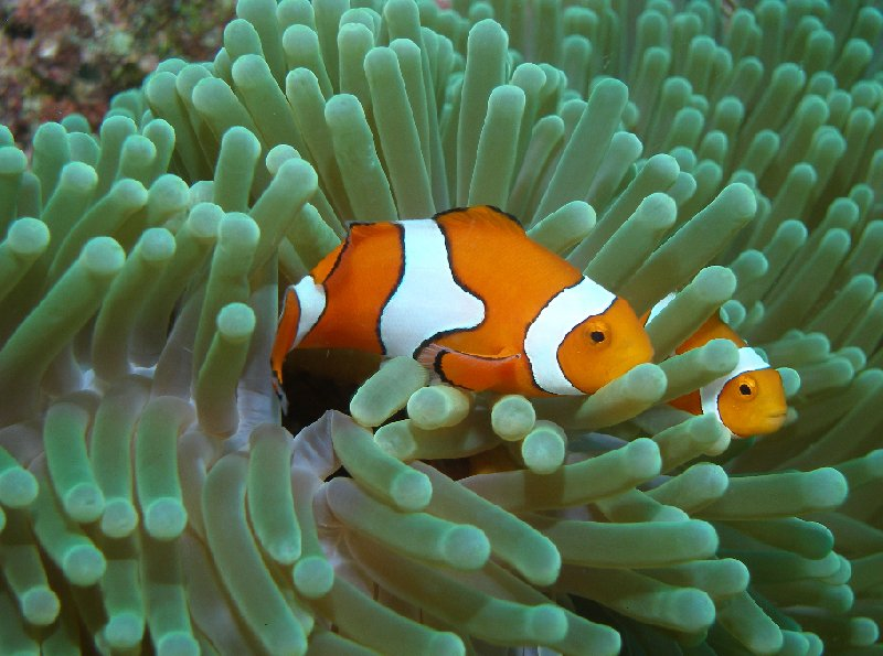 Clownfish in the waters of the Solomon Islands, Solomon Islands