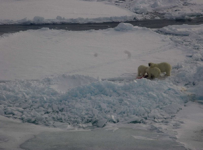Polar bears in Greenland, Greenland