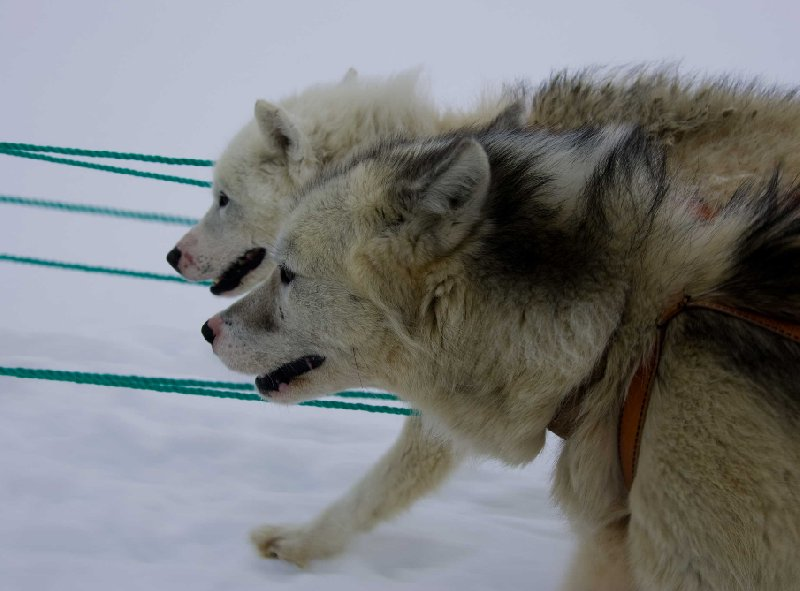 Husky dogs in Tasiilaq, Greenland, Greenland