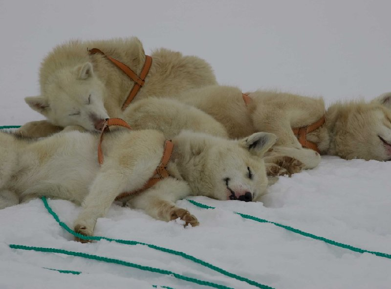 Pictures of the resting husky dogs in Greenland, Tasiilaq Greenland