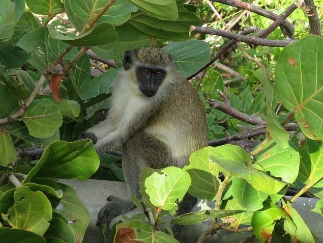 Green Vervet Monkey on Saint Kitts and Nevis, Saint Kitts and Nevis