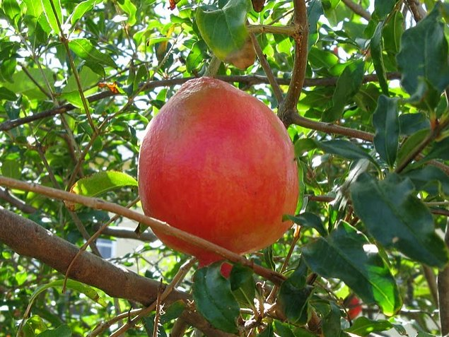 Amazing fruit on Saint Kitts and Nevis, Basseterre Saint Kitts and Nevis