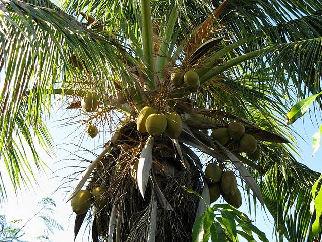 Palm trees on Saint Kitts and Nevis, Basseterre Saint Kitts and Nevis