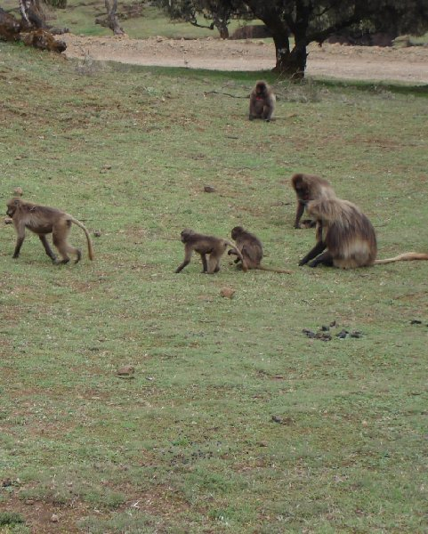 Trip to the Gelada Baboons in Simien Mountains NP, Ethiopia Gondar