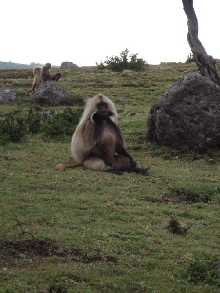 Photos of the Gelada Baboons in Simien Mountains NP, Ethiopia, Ethiopia