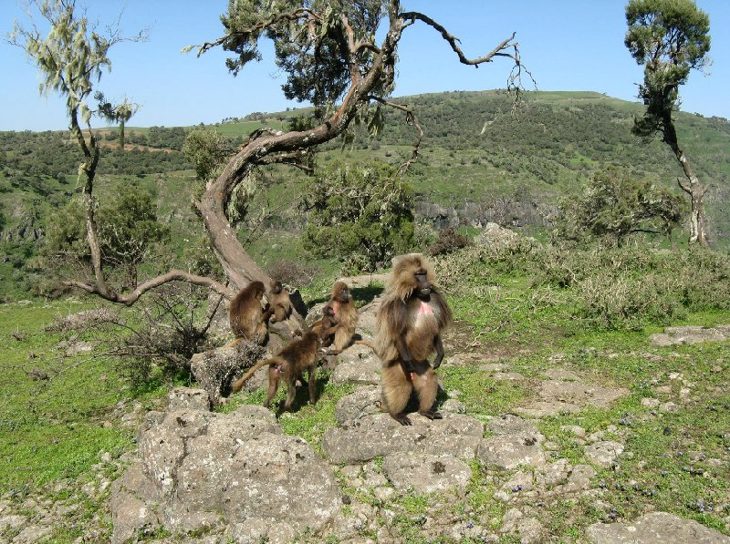Pictures of the Gelada Baboons in Simien Mountains NP, Ethiopia, Gondar Ethiopia
