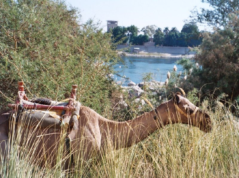 Khartoum Sudan Camel ride along the Nile River, Sudan