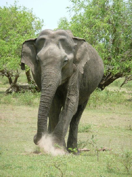 Photo of an elephant in the Yala National Park, Sri Lanka, Sri Lanka