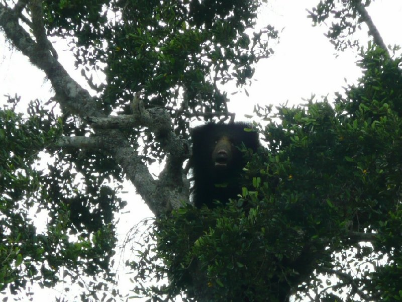 Bear in a tree, Yala National Park, Sri Lanka, Sri Lanka
