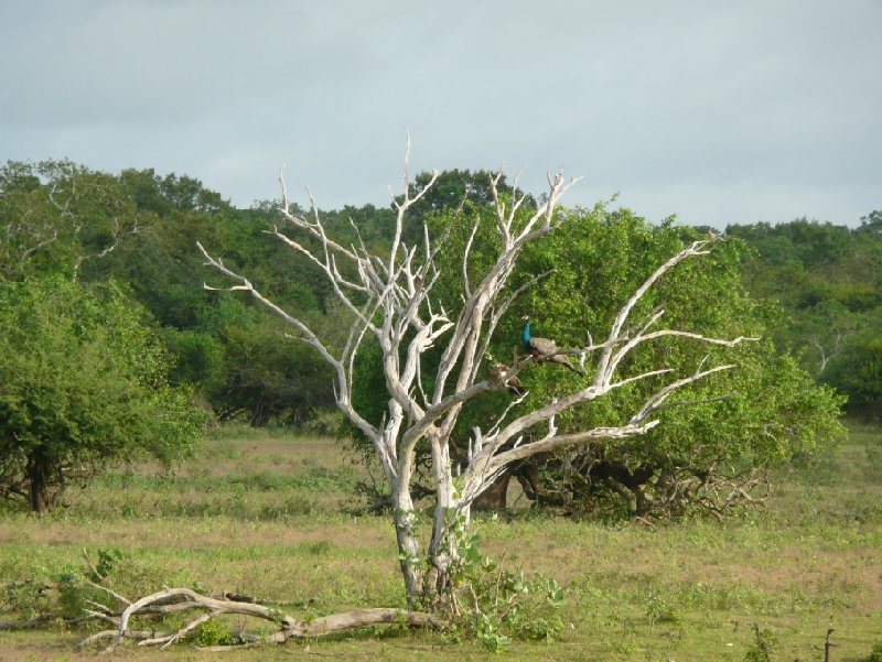 Beautiful trees in the Yala National Park, Sri Lanka, Sri Lanka