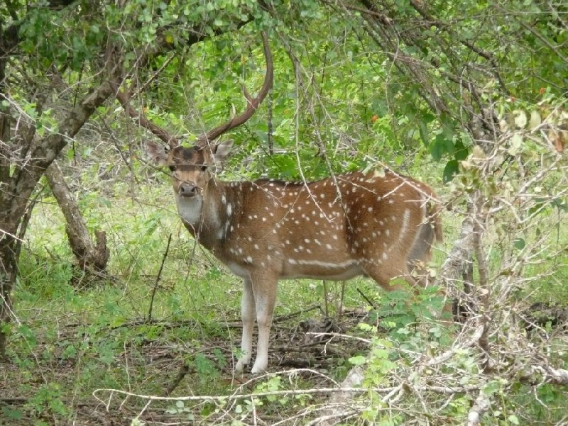 Picture of a deer in the Yala National Park, Sri Lanka, Sri Lanka