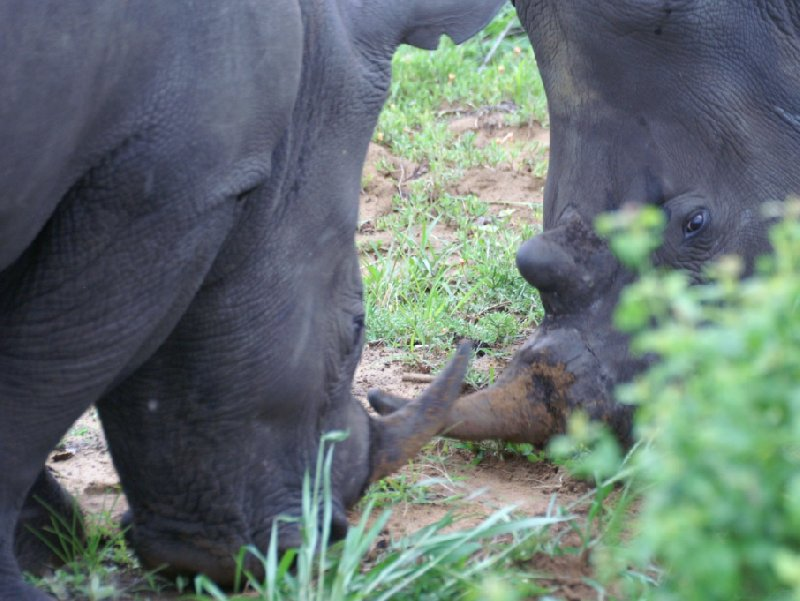 Two battling rhino's in the Mkhaya Game Reserve, Swaziland, Swaziland