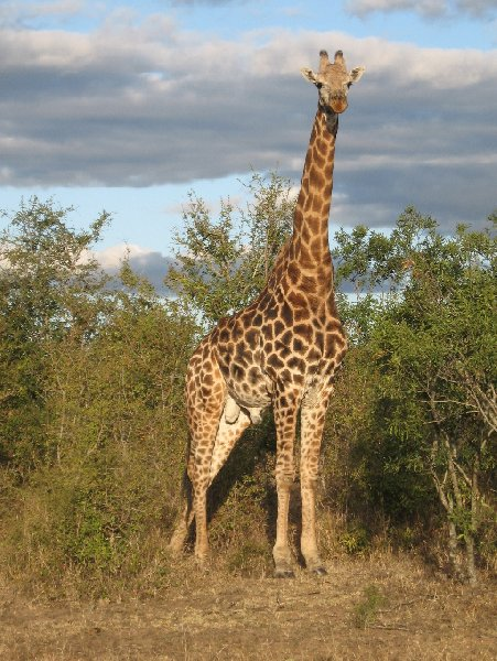 Pictures of a giraffe in the Mkhaya Game Reserve, Swaziland Magomba