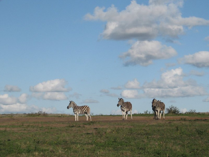 Pictures of zebra in the Mkhaya Game Reserve, Swaziland, Swaziland