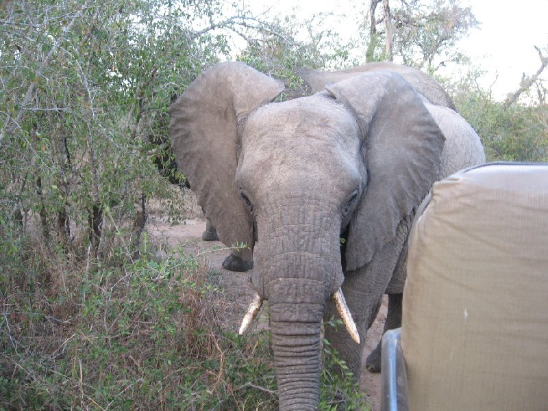 Pictures of an elephant in the Mkhaya Game Reserve, Swaziland, Swaziland