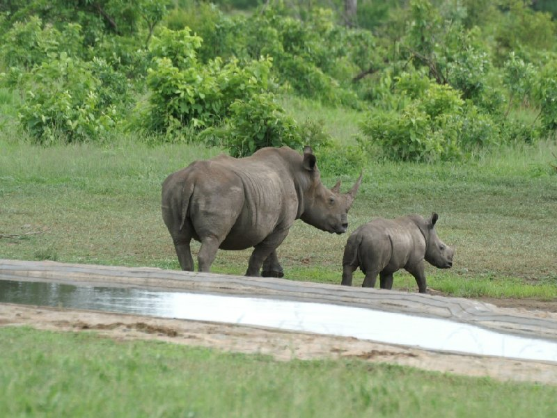 Pictures of a baby rhino in the Mkhaya Game Reserve, Swaziland, Swaziland