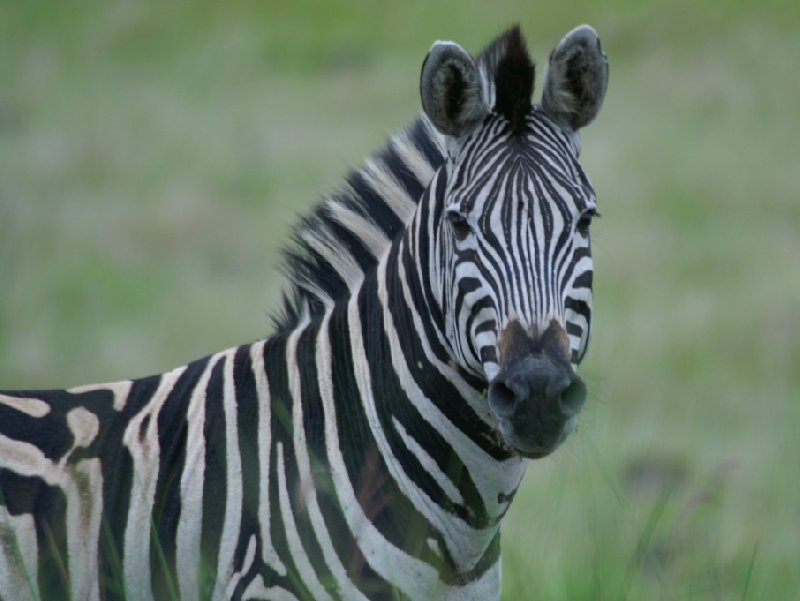 Pictures of a zebra in the Mkhaya Game Reserve, Swaziland, Swaziland