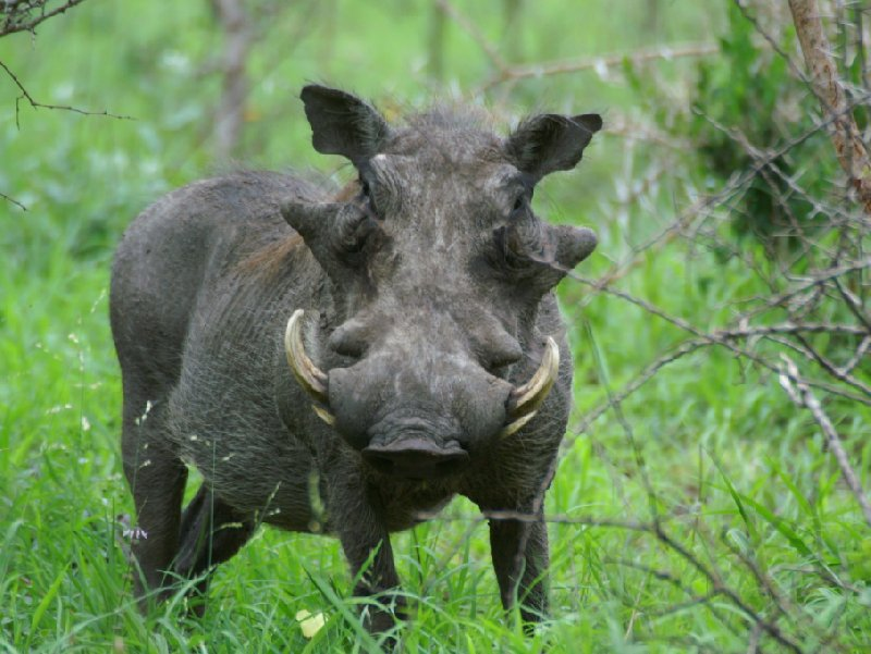 Pictures of a whartog in the Mkhaya Game Reserve, Swaziland, Swaziland