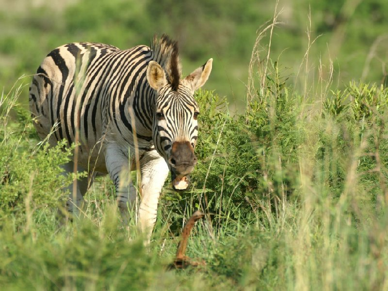 Photo of a zebra in the Mkhaya Game Reserve, Swaziland, Swaziland