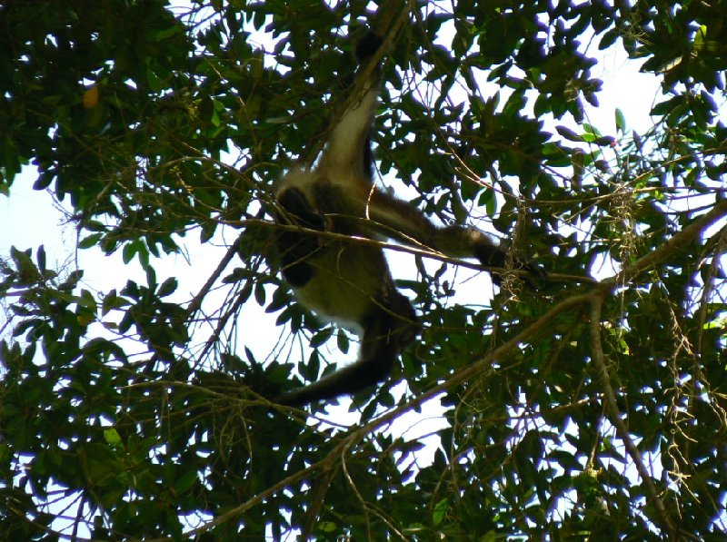 Guided tour to the spider monkeys, Tikal National Park, Guatemala