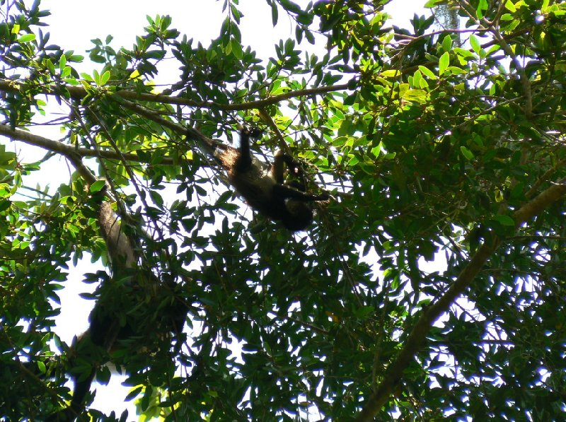 Pictures of the active monkey's in Tikal, Guatemala