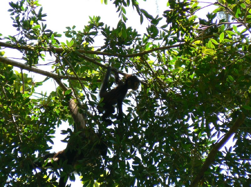 Photos of the Spider monkeys in the Tikal National Park, Guatemala, Arenal Guatemala