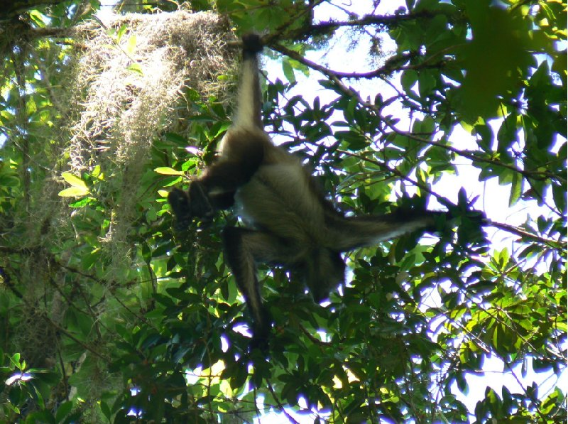 Pictures of the Spider monkeys in the Tikal National Park, Guatemala, Arenal Guatemala