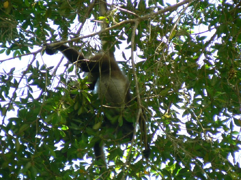 Spider monkeys in the Tikal National Park, Guatemala, Guatemala