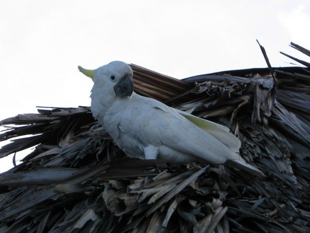 Cockatoo in Wewak, Papua New Guinea, Papua New Guinea