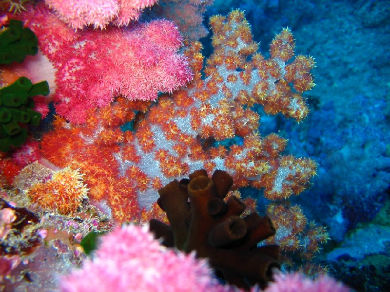 Amazing coral and nudibranches in Palau, Palau