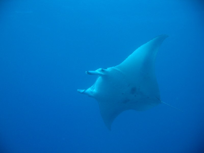 Koror Palau Swimming manta ray in the waters of Palau Island