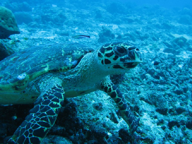 Close up photos of a turtle at Palau Island, Palau