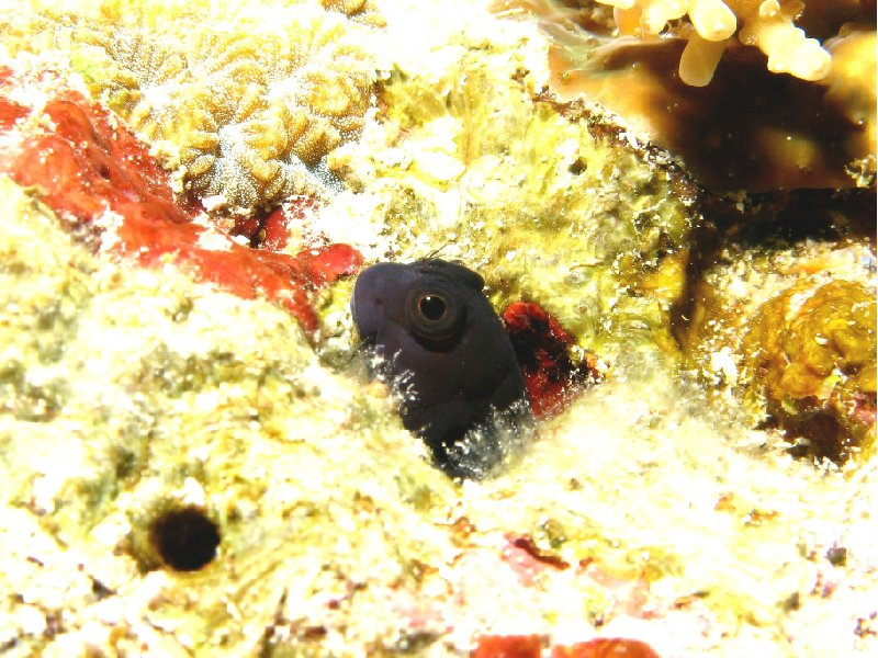 Koror Palau Blenny, diving photos Palau, Oceania