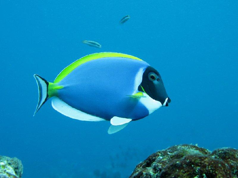 Powder Blue Surgeonfish, Palau Island, Koror Palau