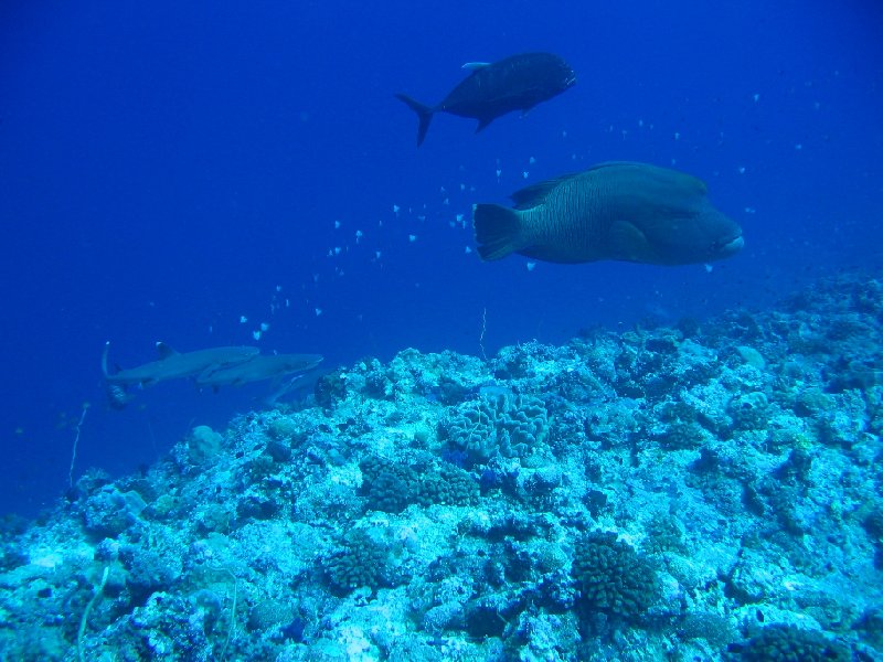 Napoleon Wrasse, Giant Travelly and white tip reef sharks , Palau