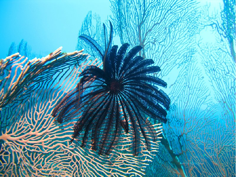Feather Star on Fan coral , Palau