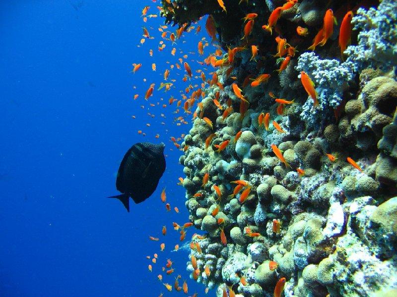 Sailfin Tang , Koror Palau