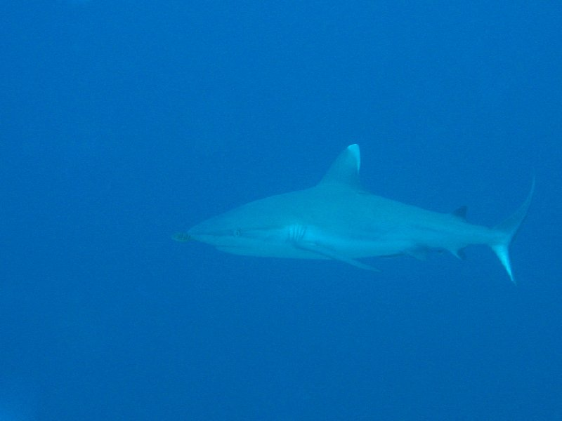 Koror Palau Grey Reef Shark during Liveaboar in Palau, Oceania
