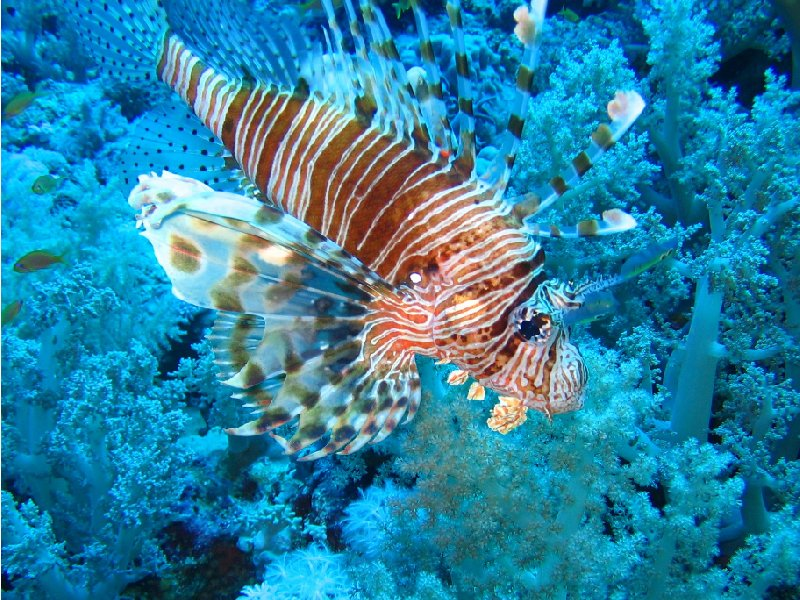 Photos of a Lion fish in Palau, Koror Palau