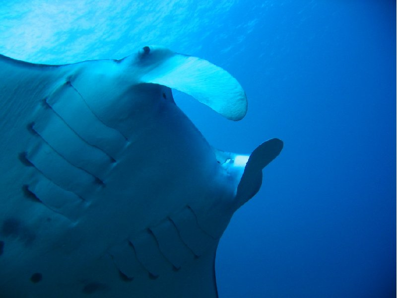 Close up of a Manta Ray, Palau, Palau
