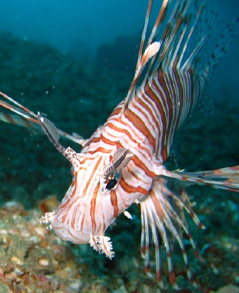 Pictures of a Lion fish in Palau, Koror Palau