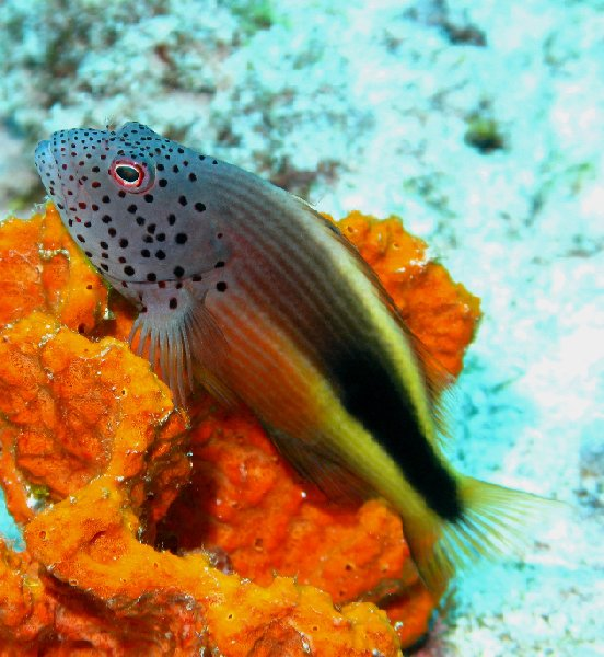 Photo of a Forster's Hawkfish